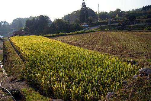 紫黒米の田んぼ