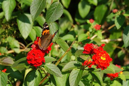 花の蜜を吸う蝶