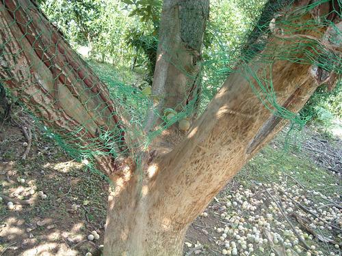 1日前に鹿にやられた銀杏の木.JPG