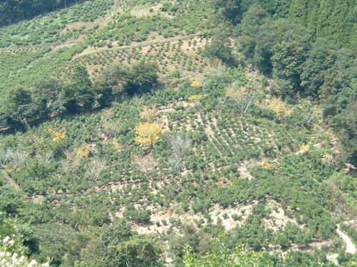 黄色いのは昨年、鹿の被害にあい、葉っぱもない木はすでに枯れてしまっている。.JPG