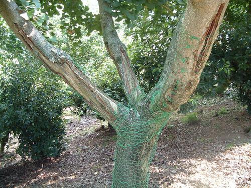 銀杏の木の皮は鹿にとって剥きやすい.JPG