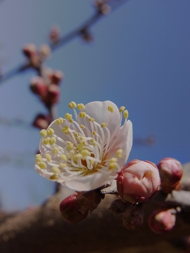 南紅梅の花.jpg