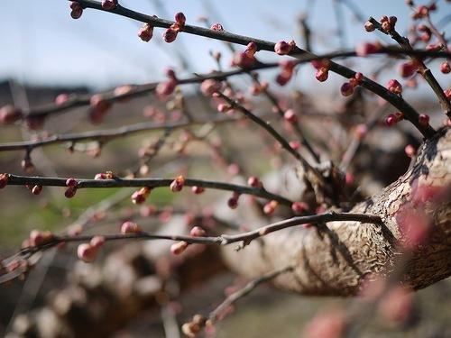 梅の木の美しいつぼみ.jpg